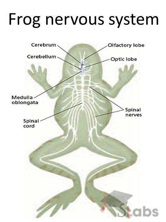 frog nervous system The main organ in the nervous system is the brain, located within the skull of the frog it connects to the body by the spinal cord, which runs through the vertebrae on the dorsal side of the frog.