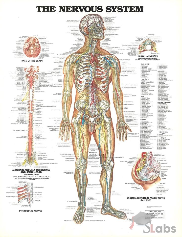 Human Nervous System Scholars Labs